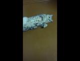 Кошак заводяка