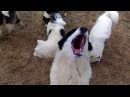 Yakutian Laika . Якутская лайка,щенки-пуфики.смешные собаки