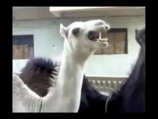 Смех верблюда как у Питера Гриффина