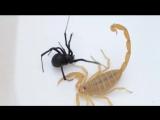 Черная вдова против Скорпиона