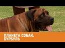 Бурбуль. Планета собак 🌏 Моя Планета