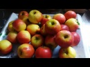 Моченные яблоки в кислой капусте.Для Рождественских дней (рецепт номер 1)