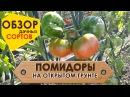 Помидоры на открытом грунте Обзор популярных сортов России