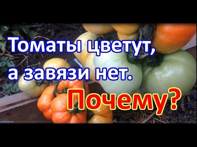 Почему томаты цветут, а завязи нет Выращивание томатов. Когда подкармливать томаты.
