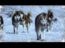 Посвящается собакам Хаски - Dedicated Husky Dogs