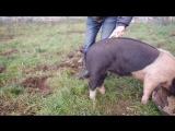 Как выпрямить у свиньи хвост?