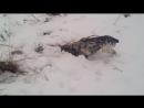 Охота на мышь зимой
