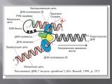 Репликация ДНК.AVI