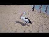 Вы когда-нибудь видели, как зевает пеликан?