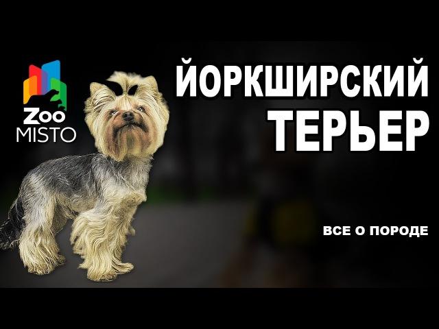 Йоркширский терьер Все о породе собаки Собака породы Йоркширский терьер