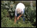 Голова садовая. Томаты вниз головой и другие секреты выращивания помидоров