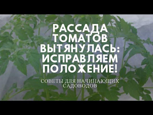 Рассада томатов вытянулась, что делать Заглубить в посадочной емкости.