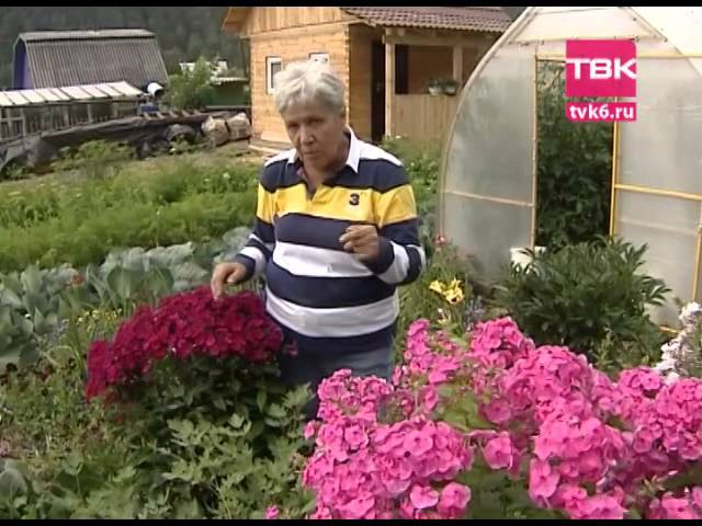 Советы тети Тани Гибридные флоксы