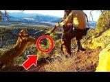 Два парня, рискуя жизнью, спасают пуму, попавшую в капкан в горах Юты