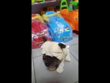 собака реагирует на хлопок и прикосновения CL1187A