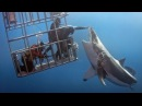 Great White Shark Cage Breach Accident 2016 adventure