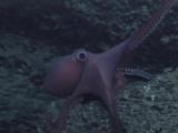 Осьминог из семейства Octopodidae (ориг.