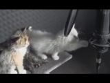 Котята поют очень няшно))***