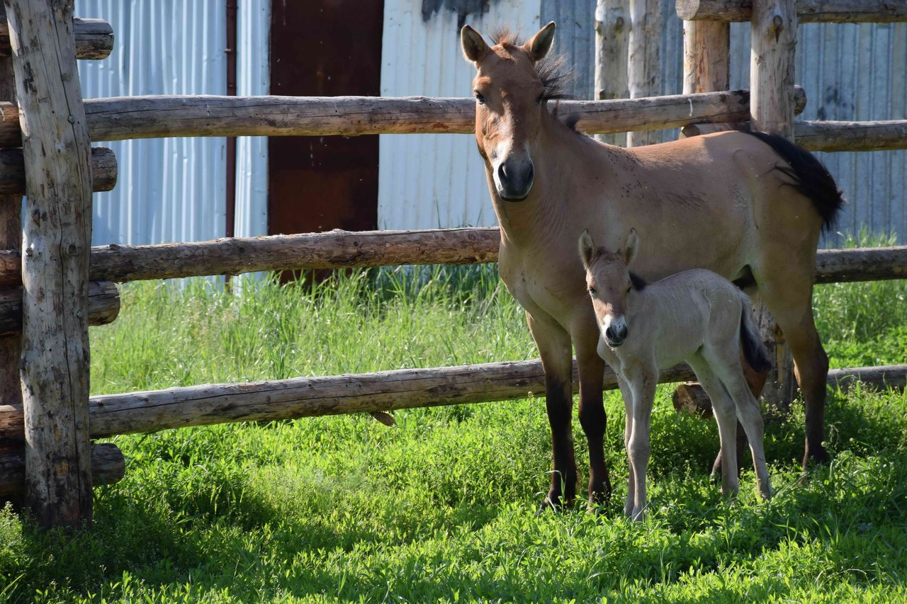 На стационаре Института степи родилась лошадь Пржевальского
