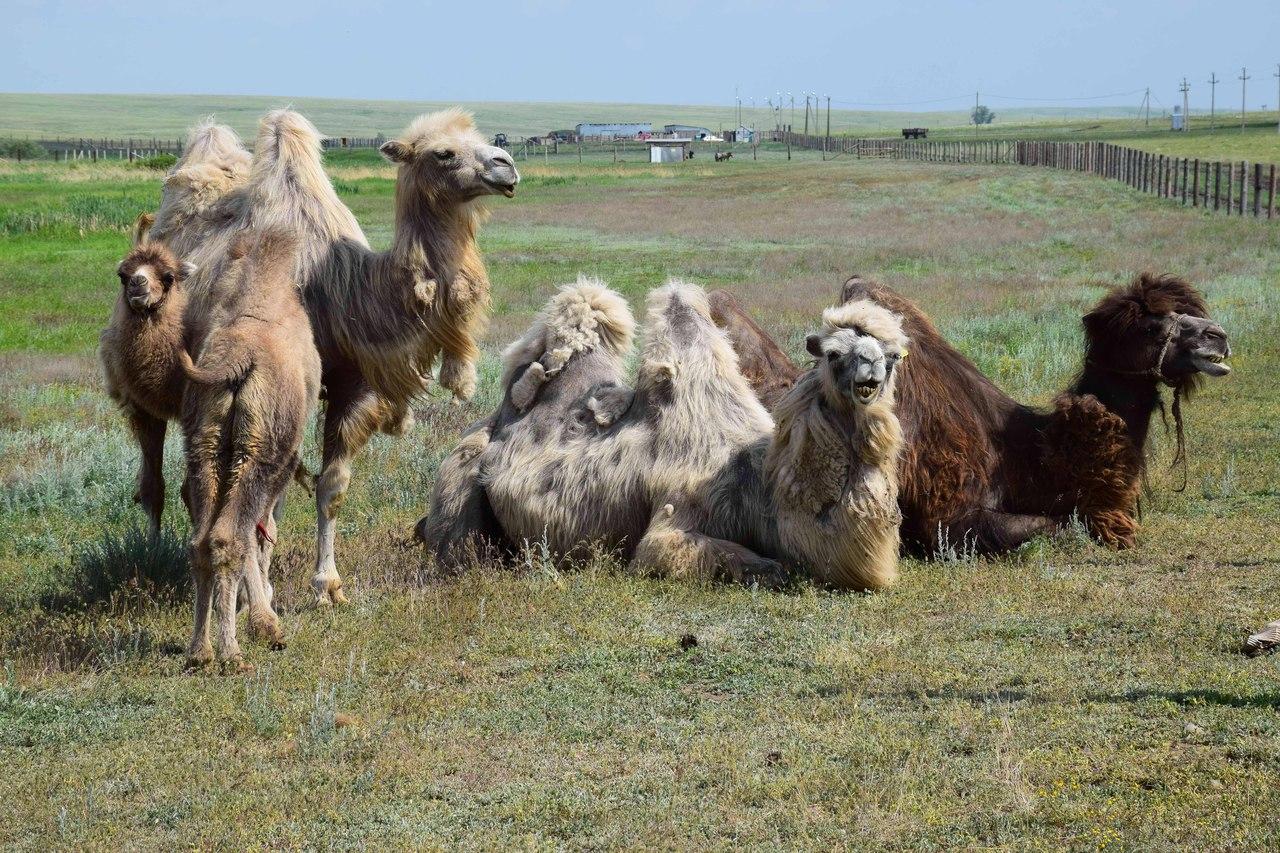 Обитатели степного стационара: двугорбые верблюды, яки