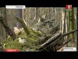 В Польше вырубают Беловежскую пущу