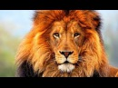 Война Львов. Жизнь и Охота льва на Буйвола. Дикая природа. Документальные Фильмы про Животных HD