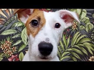 Джек Рассел Терьер по имени Вольт: Собачье счастье! / Jack Russell Terrier Volt