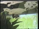 Наблюдения натуралиста брачные игры жемчужных гурами под пузырьковым домиком