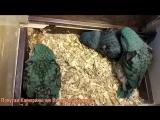 Мои первые птенцы толстоклювых попугаев Катеринок