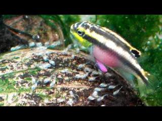 Pelvicachromis pulcher first spawning. Feeding. Попугайчики. Первый нерест. Кормление.