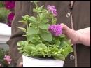 Главные ошибки при выращивании петунии