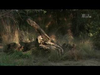 «Загадочные животные острова Джао (4). Семейное дело» (Документальный, природа, 2009)