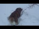 Сибирская хаски ЮТА мышкует. Амуниция WILL TO GOsvk/dog.ammunition