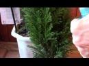 Хвойные растения Можжевельник и араукария просят помощи Как помочь хвойным р
