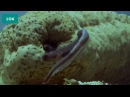 Необычные животные - Морской огурец