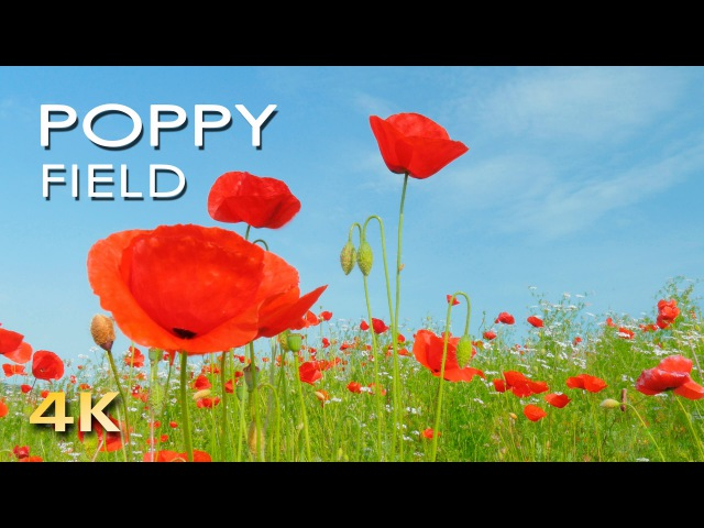 4K Poppy Meadow Birdsong - Relaxing Nature Sounds Video - UHD - Meditation/ Sleep/ Study/ Yoga