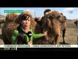 Разведение верблюдов – новые возможности для ВКО