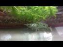 Змееголов съедает рыбу длиной в 30% от собственной длины  Snakehead eats fish 30% of his own length
