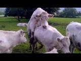 Los Animales Apareamiento vacas And Rhinos Apareamiento