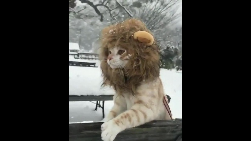 Lion King in Snow