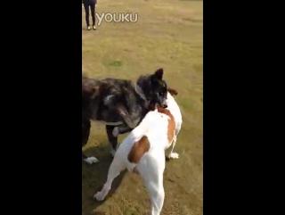 American bulldog VS akita inu (американский бульдог акита ину Собачьи бои)