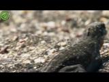 Детенышам морских игуан нужно перебежать через змеиное поле к морю / Marine iguanas hatchlings vs snakes