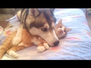 Подушка из кота для хаски