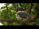 Большой пегий зимородок Заповедник Курильский Crested Kingfisher