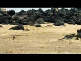 Телеканал BBC снял видео, достойное остросюжетного фильма. На кадрах запечатлен бесстрашный детеныш игуаны, которому приходится