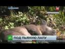 Охотоведы на руках вынесли пьяную медведицу