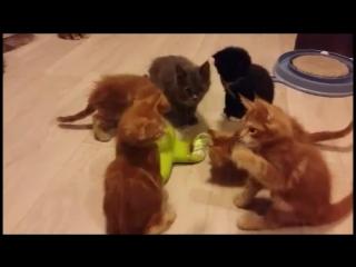 Котята мейн кун - Питомник мейн кунов Sternenburg (г. Москва)