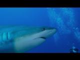 wasabi for sharks