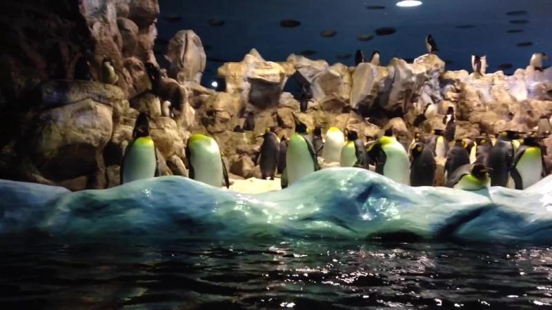 Императорские пингвины в Лоро Парке, Тенерифе, Испания