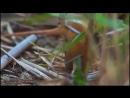 Синица усатая (Panurus biarmicus)